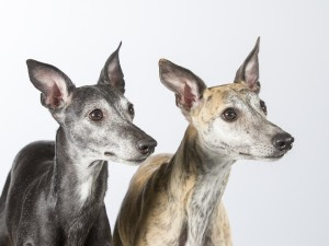 greyhound adoption month