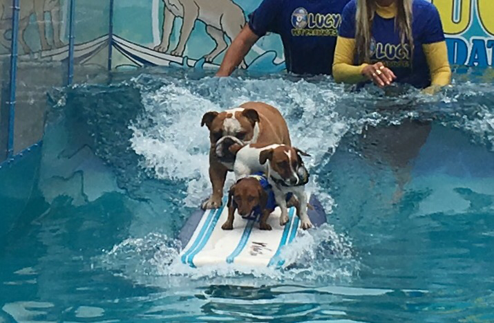 Watch these dogs surf the 2017 Rose Parade with Lucy Pet