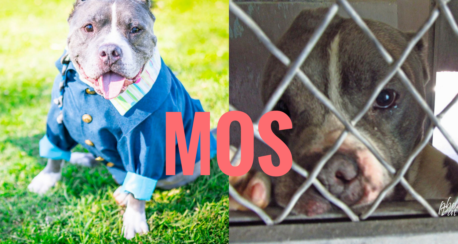 Dog Rescue Stories: Frosted Face Mos Was Surrendered to a