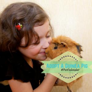 adopt a guinea pig month