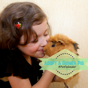 pet calendar adopt a guinea pig